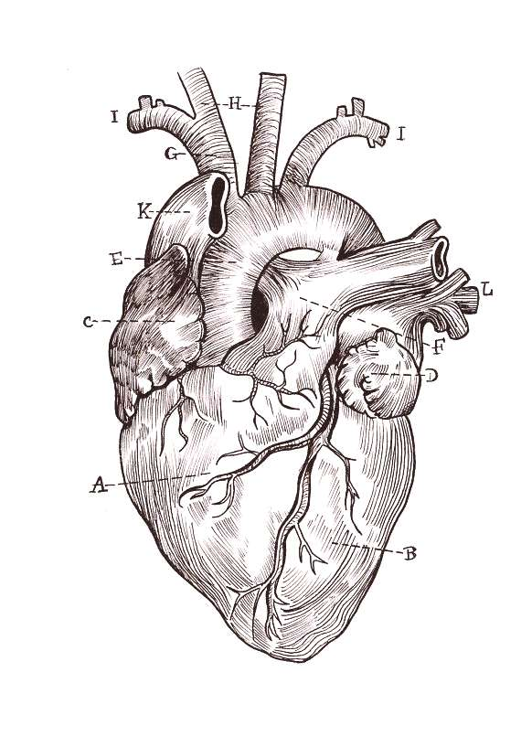 A5 High Quality Print Linework Anatomical Heart Drawing Great for someone who loves science, the ma